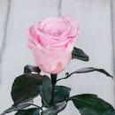 Роза в колбе Standart Розовая-2